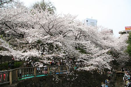 飛鳥山公園桜