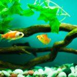 金魚に塩水浴のやり方!病気や弱った金魚に良いって本当か?