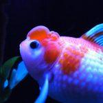 金魚の種類を解説♪金魚すくいの金魚の値段はいくらくらいか?